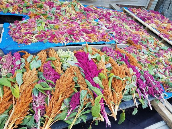 Amaranto: el alimento que le haría frente al cambio climático en Chile